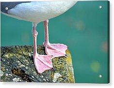 Seagull Acrylic Print by V Chettleburgh