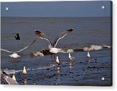 Seagulls Dip Netting  Acrylic Print by Debra  Miller