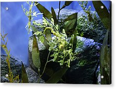 Acrylic Print featuring the photograph Seahorse by Paul Plaine