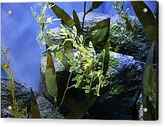 Seahorse Acrylic Print by Paul Plaine