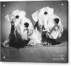 Sealyham Terriers Acrylic Print by M E Browning and Photo Researchers