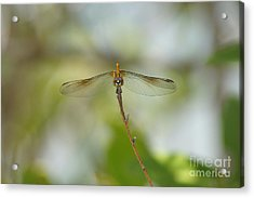 Seaside Dragonlet Acrylic Print by Lynda Dawson-Youngclaus