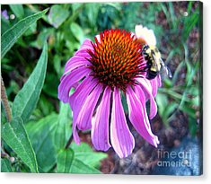 Acrylic Print featuring the photograph Season For Echinacea  by Kathy Bassett