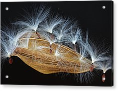 Acrylic Print featuring the photograph Seed Pod-4- St Lucia by Chester Williams