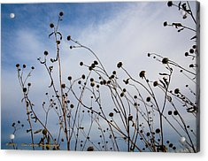 Seeds To Be Sewn Acrylic Print by Dan Crosby