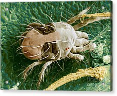 Sem Of Two-spotted Spider Mite Acrylic Print by Science Source