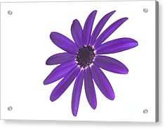 Senetti Deep Blue Head Acrylic Print by Richard Thomas