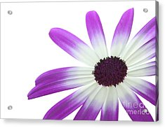 Senetti Magenta Bi-color Lower Right Acrylic Print by Richard Thomas
