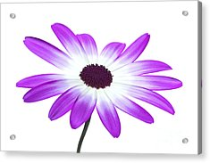 Senetti Magenta High Key Acrylic Print by Richard Thomas