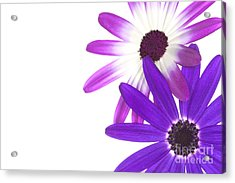 Senetti's  Acrylic Print by Richard Thomas