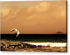 Sennen Seagull Acrylic Print by Linsey Williams