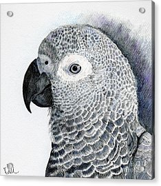 Sensitive African Grey Acrylic Print by Barb Kirpluk