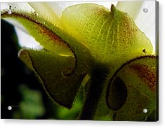 Sepals Too Acrylic Print by Ken Young