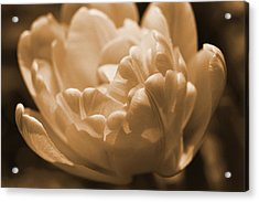 Sepia Tulip Frill Acrylic Print by Peg Toliver