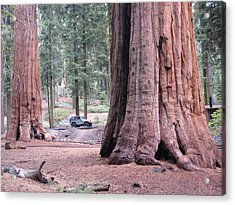 Sequoia  Trees 2 Acrylic Print