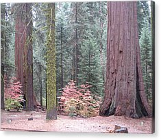 Sequoia  Trees  Acrylic Print