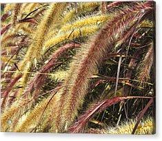 Setaria Italica Red Jewel - Red Bristle Grass Acrylic Print by Anne Mott