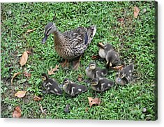 Seven Little Ducklings Acrylic Print by Jan Amiss Photography