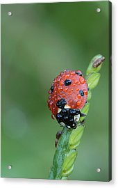 Acrylic Print featuring the photograph Seven-spotted Lady Beetle On Grass With Dew by Daniel Reed
