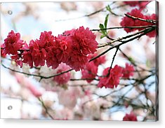 Shades Of Pink Blossom Acrylic Print by photo by Marcia Luly