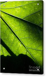 Shadow On Leaf -2 Acrylic Print