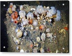 Shaggy Mouse Nudibranchs Acrylic Print by Alexander Semenov