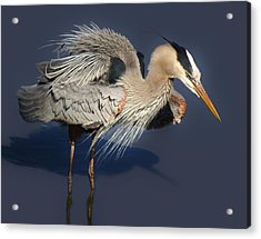 Shaking Out My Tail Feathers Acrylic Print by Paulette Thomas