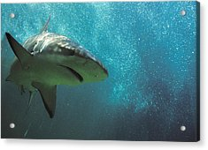 Shark Attack Acrylic Print by Carl Purcell