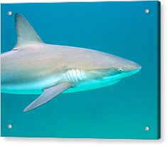 Shark Profile Acrylic Print by Ted Papoulas