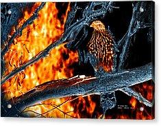 Sharp Shinned Hawk 0112 Fire And Ice Art Acrylic Print