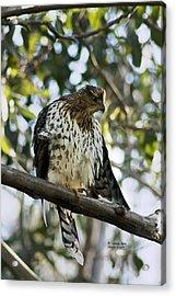 Sharp Shinned Hawk - Winged Stare -5459 Acrylic Print
