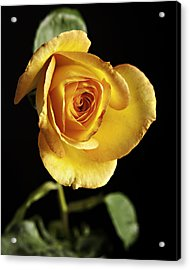Sharp Yellow Rose On Black Acrylic Print by M K  Miller