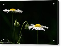 Acrylic Print featuring the photograph Shasta Daisies by Mitch Shindelbower