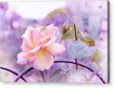 She Like The Ghost Beside Me. Scottish Rose Acrylic Print by Jenny Rainbow