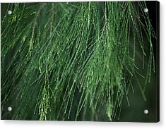Acrylic Print featuring the photograph She Oak by Carole Hinding