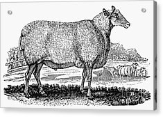 Sheep, C1800 Acrylic Print by Granger