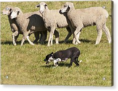 Sheep Dog Trials Acrylic Print