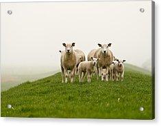 Sheep Acrylic Print by GettyImages Flickr nldazuu