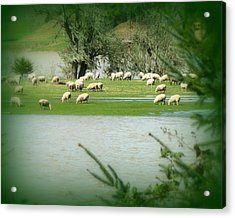Sheep Grazing Amidst Flood Acrylic Print by Cindy Wright