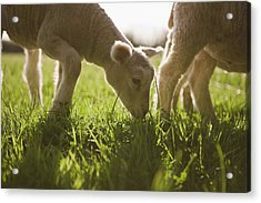 Sheep Grazing In Grass Acrylic Print