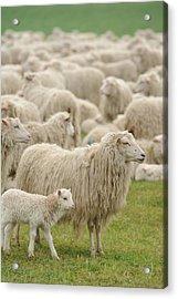 Sheep Grazing In Grassy Field Acrylic Print by G&J Fey