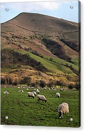 Sheep Grazing In Peak Acrylic Print by Michelle McMahon