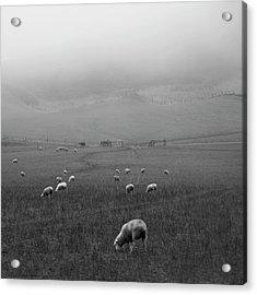 Sheep Grazing Acrylic Print by Sonja Rolton