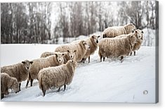 Sheep Herd Waking On Snow Field Acrylic Print by Coolbiere Photograph