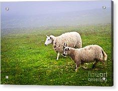 Sheep In Misty Meadow Acrylic Print
