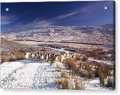 Sheep In Snow, Glenshane, Co Derry Acrylic Print by The Irish Image Collection