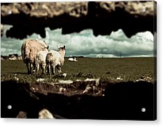 Sheep In The Wall Acrylic Print