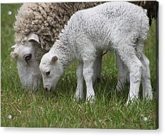 Sheep Mom And Lamb Grazing Acrylic Print by Jeanne Kay Juhos