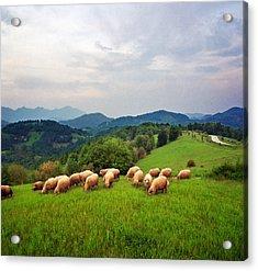 Sheep On Meadow Acrylic Print by Katarina Stefanovic