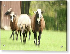 Sheep On The Run Acrylic Print by Karol Livote